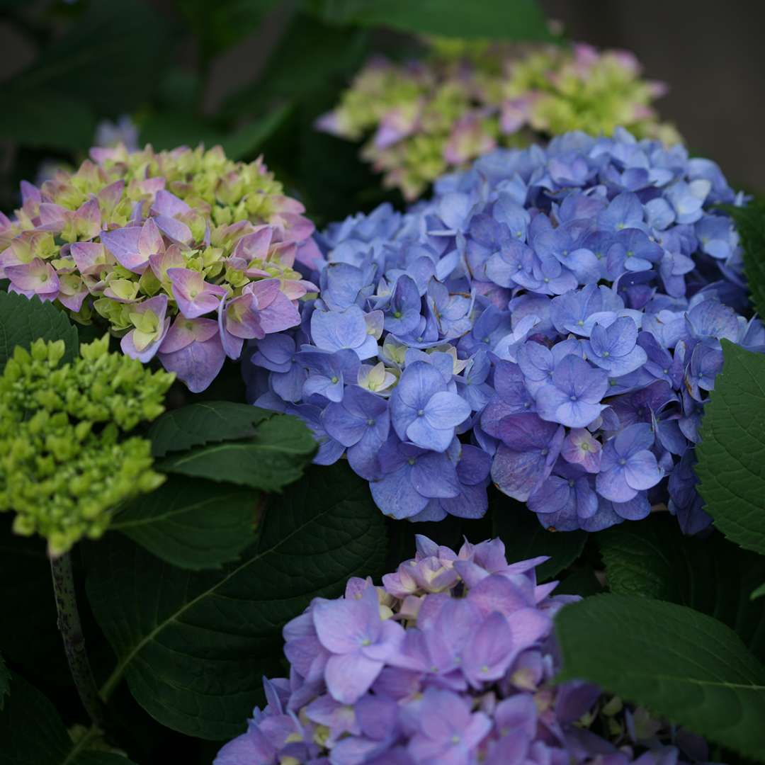 Closeup of the mophead flowers of Lets Dance Rhythmic Blue hydrangea showing the range of purple to blue colors it takes on