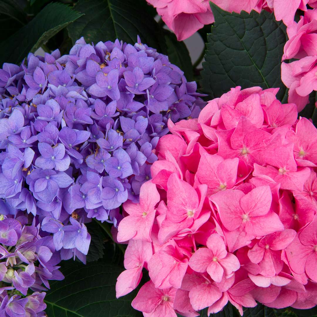 Two blooms of Lets Dance Rhythmic Blue hydrangea showing the blue and pink color variations