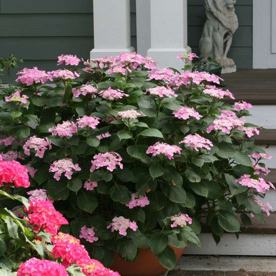 Lets Dance Starlight hydrangea blooming with many pink lacecap flowers in a container on a front porch