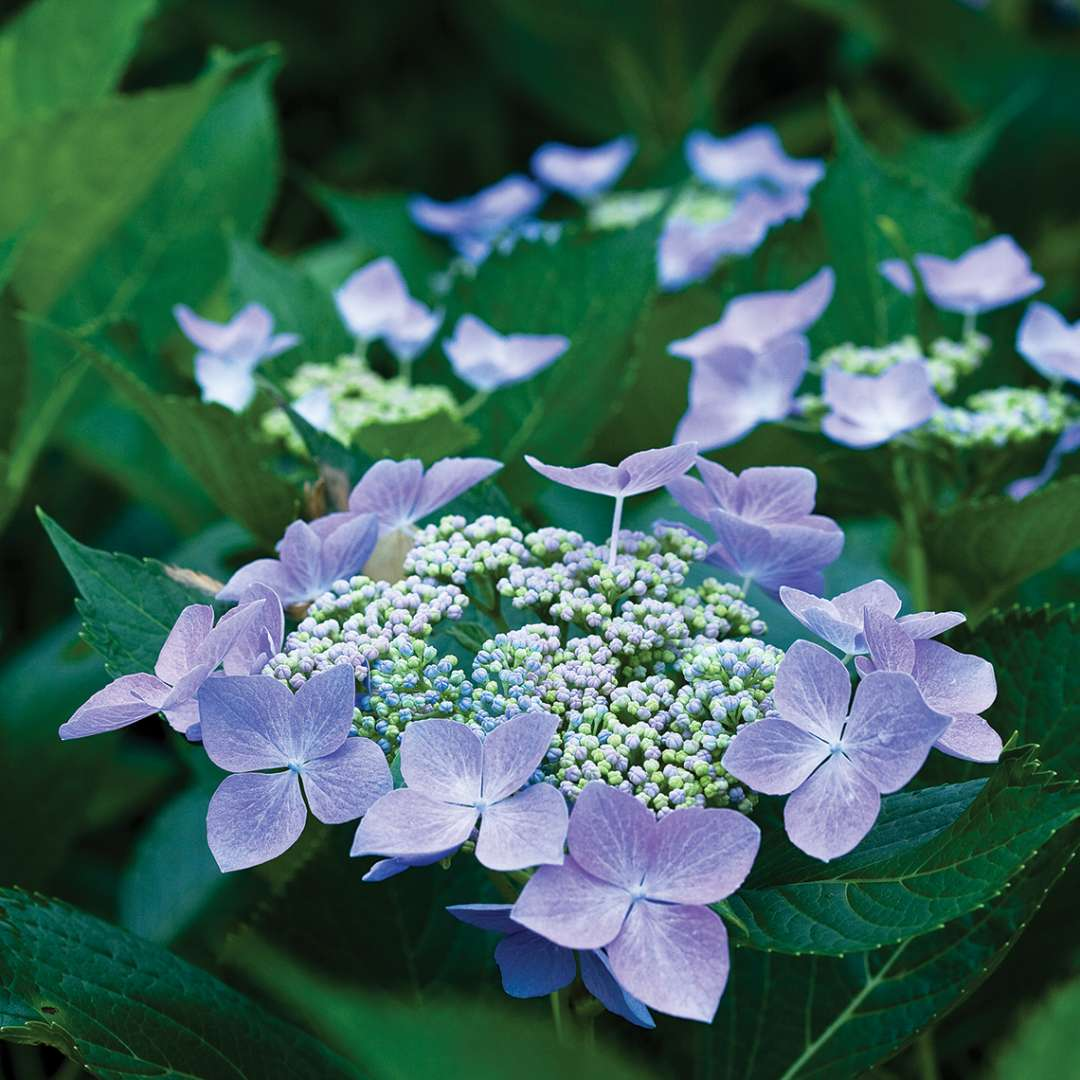 Closeup of the blue color variation of Lets Dance Starlight lacecap blooms