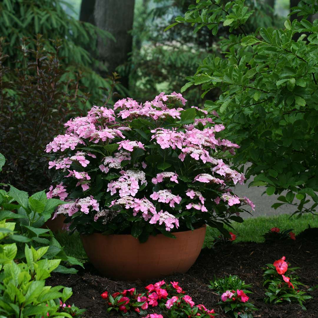 Lets Dance Starlight hydrangea blooming ina container in a shady garden bed