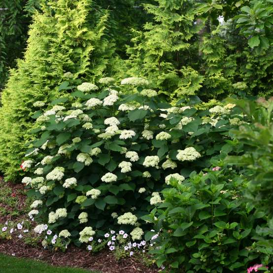 Lime Rickey hydrangea in bloom in the landscape showing abundant blooms and strong stems