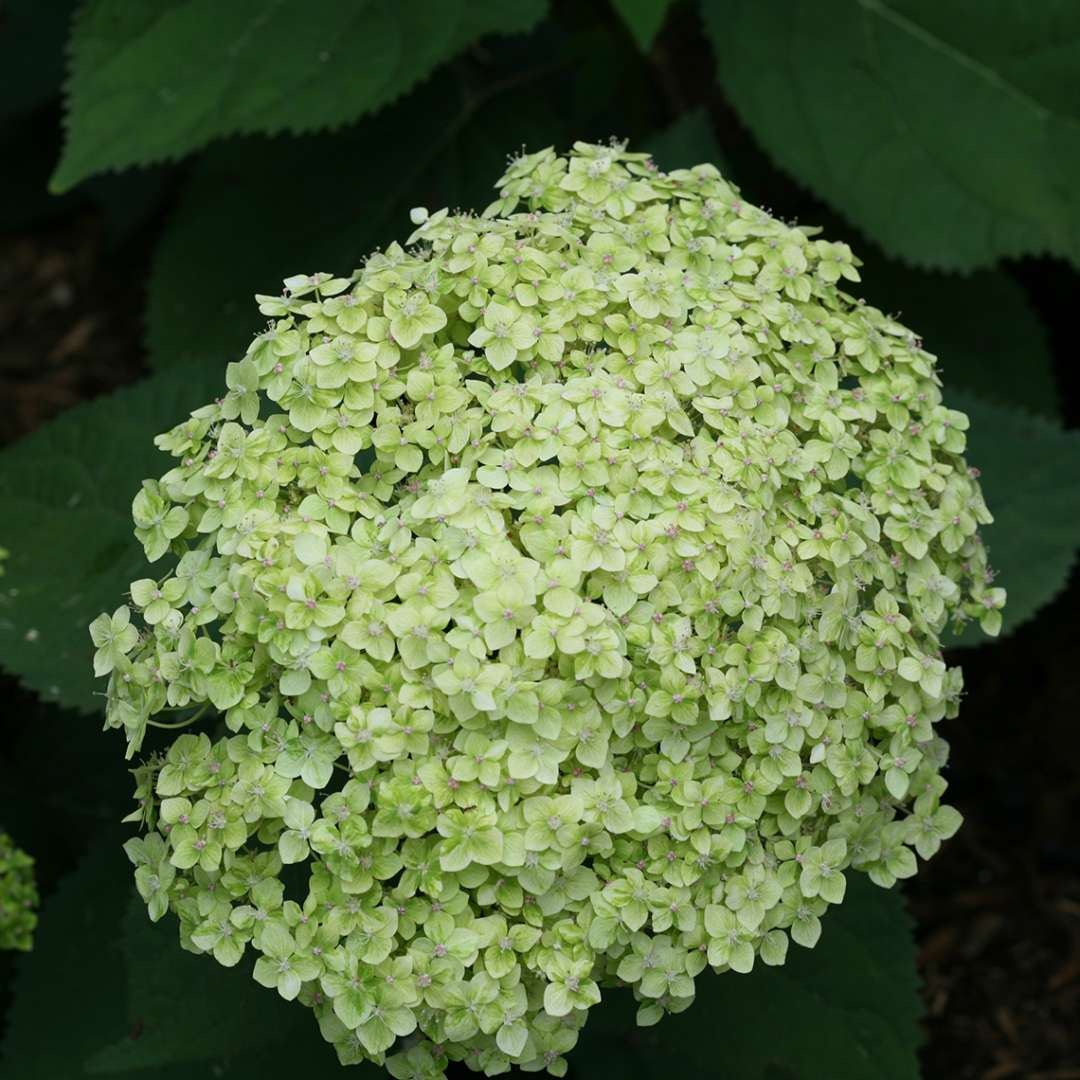 Closeup of the large green inflorescence of Lime Rickey hydrangea