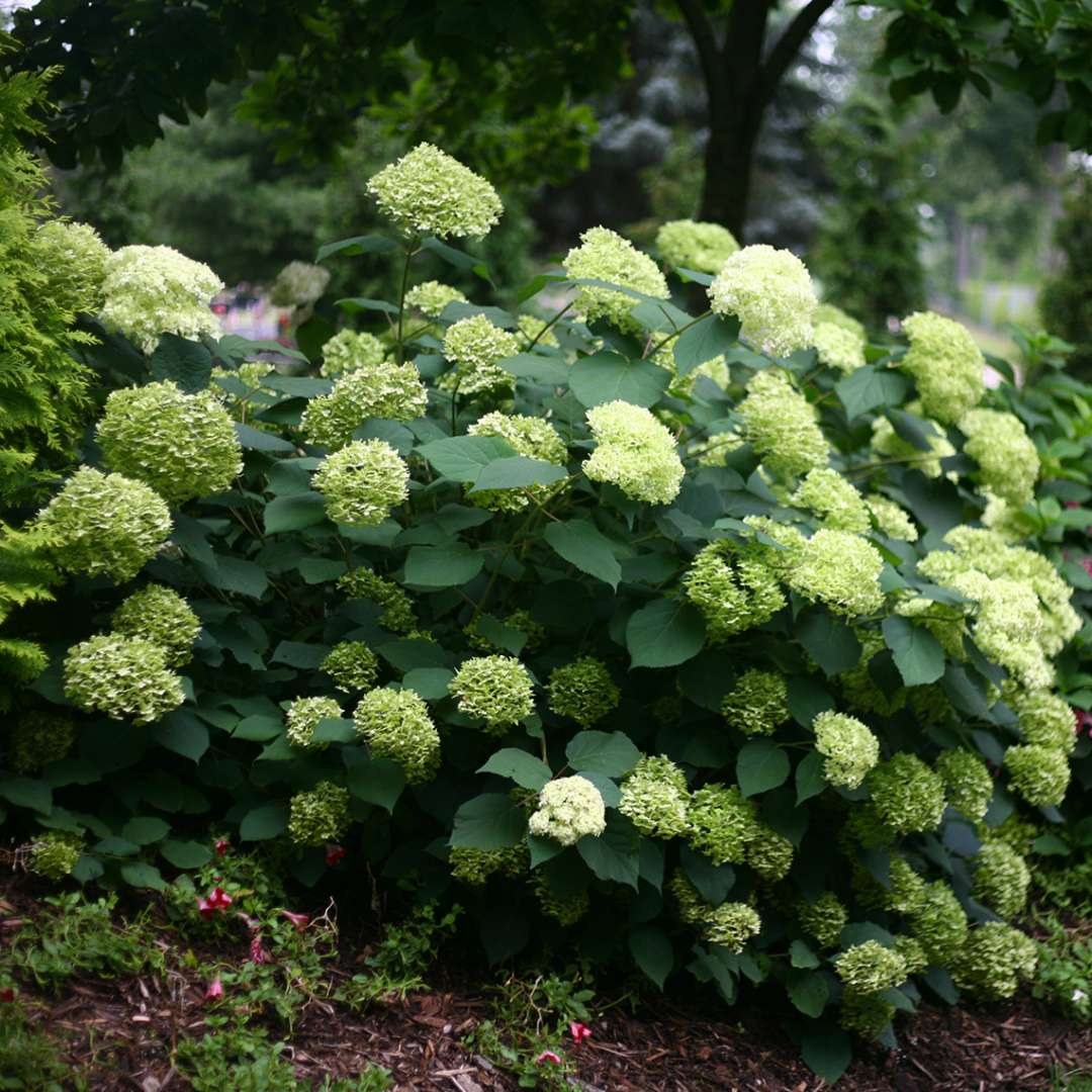 Specimen of Lime Rickey hydrangea in the landscape covered in green flowers