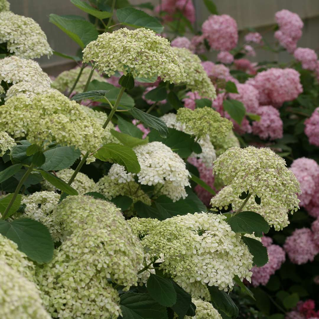 Lime Rickey hydrangea in full bloom showing stiff stems and unique flowers