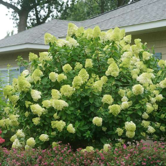 A very large specimen of Limelight hydrangea covered in lime green mophead flowers in front of a house