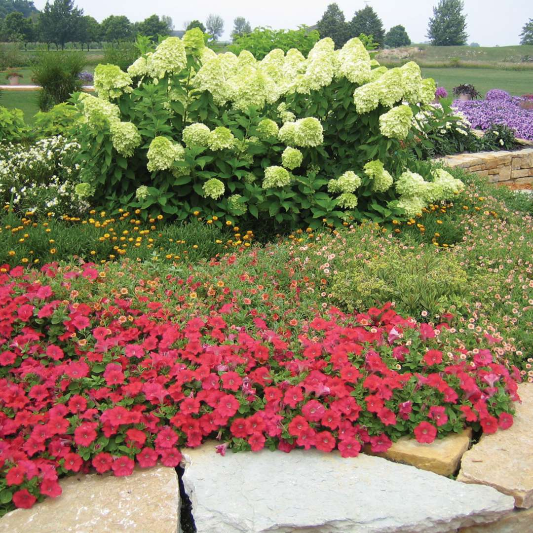 Limelight hydrangea blooming in a landscape surrounded by colorful annual flowers