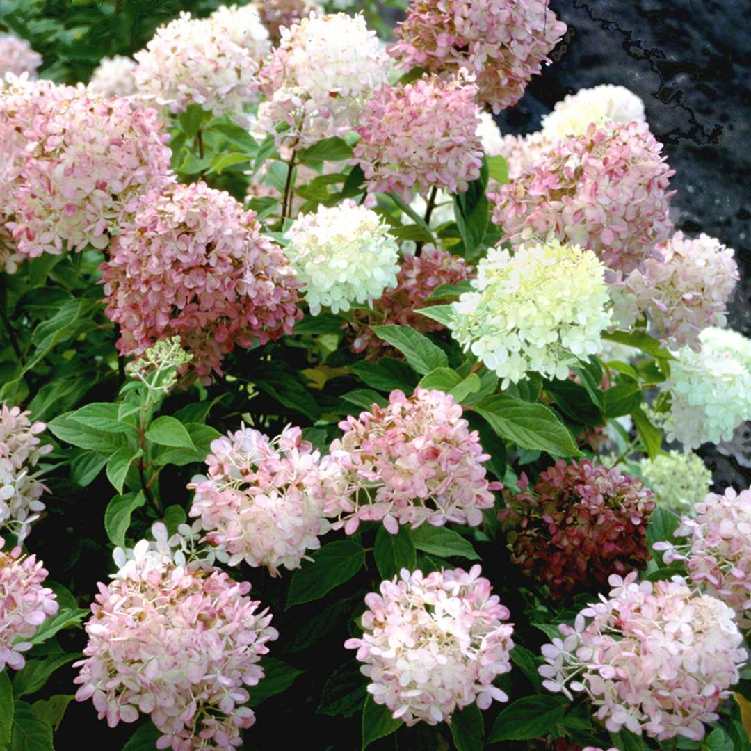 The blooms of Limelight panicle hydrangea taking on pink red and burgundy tones