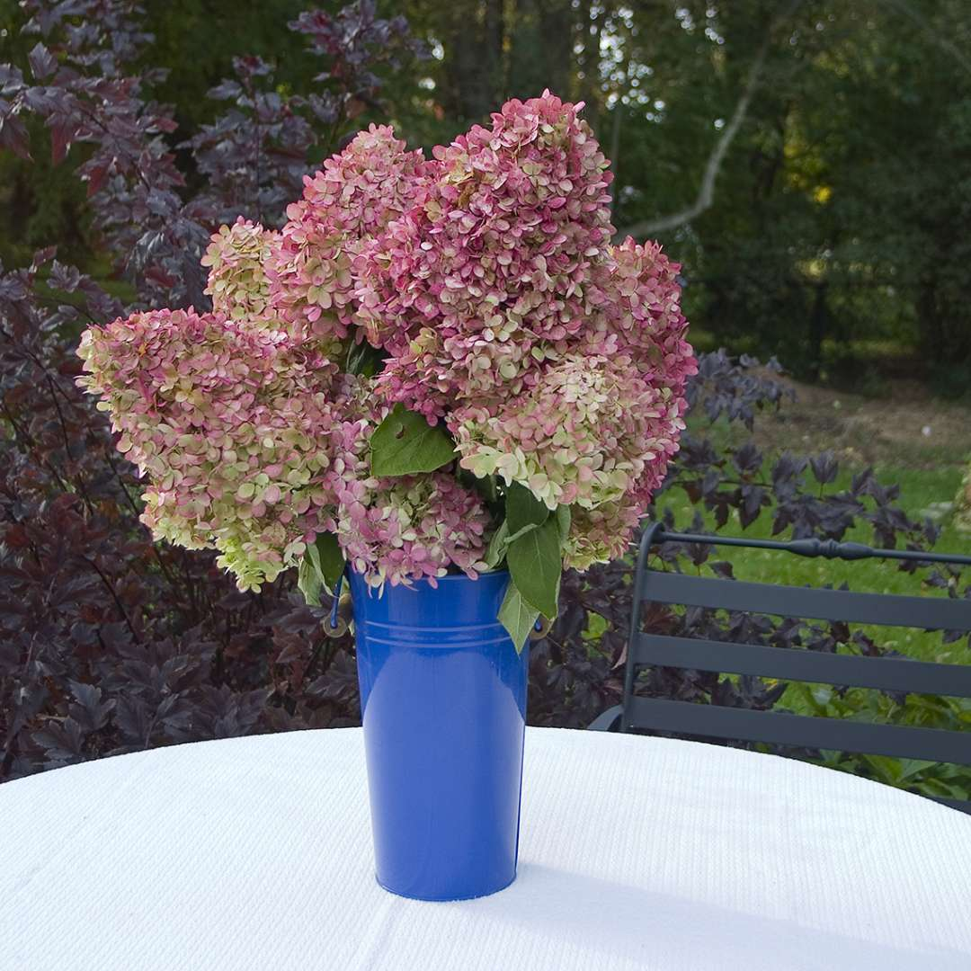 Limelight flowers in a vase showing the deep pink coloration they develop later in the growing season