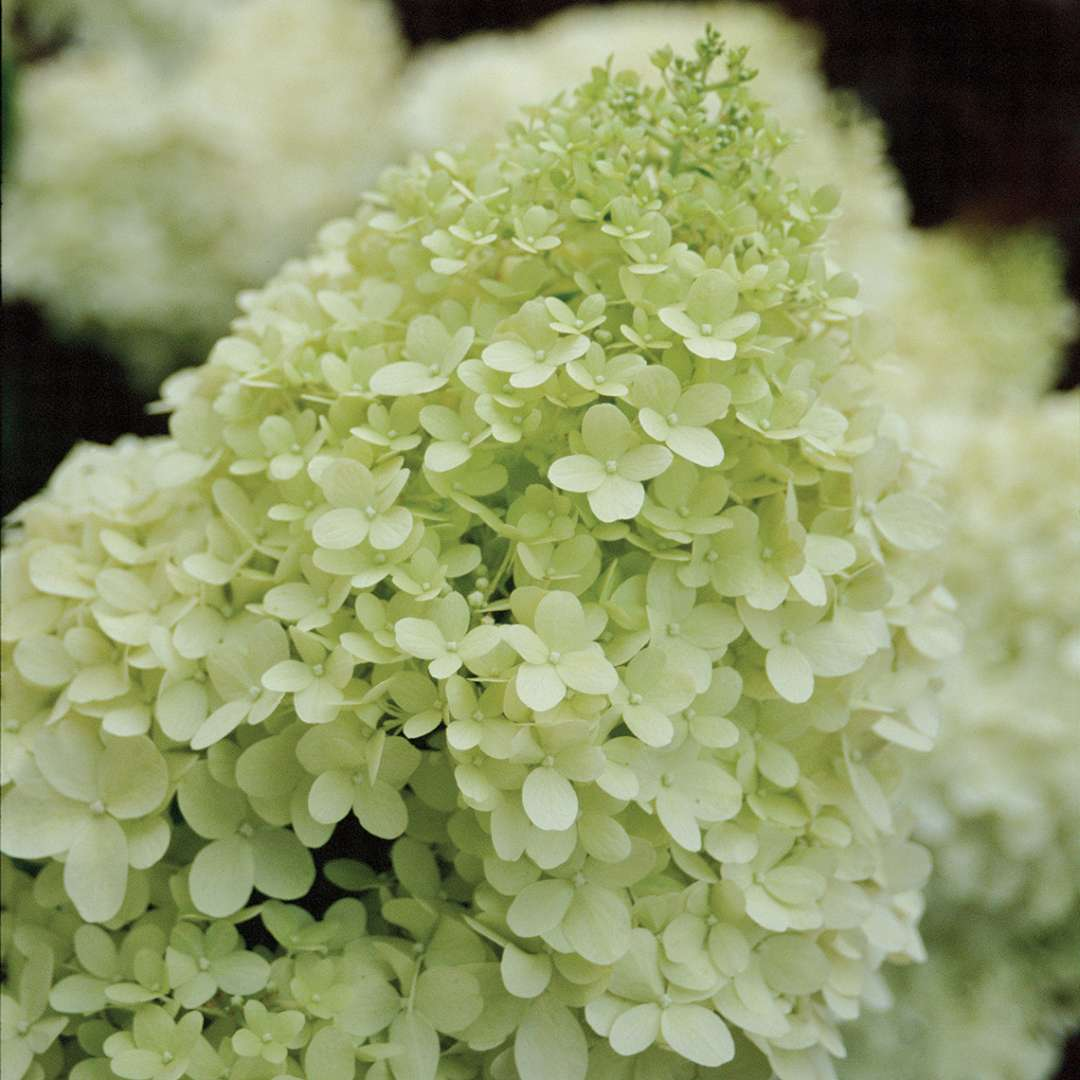 Closeup of the lime green mophead bloom of Limelight panicle hydrangea
