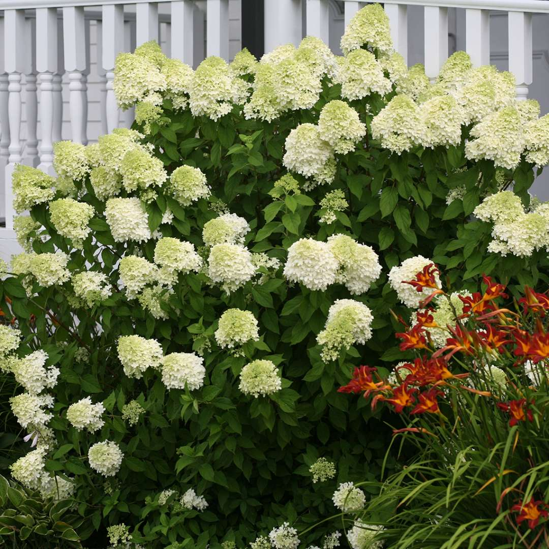 A Limelight hydrangea blooming in front of a white raiiling with a red daylily to its right