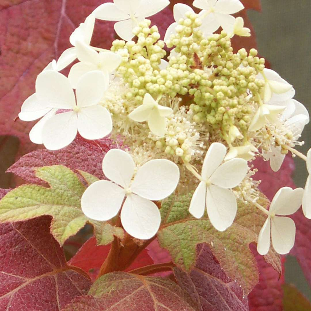 The red fall color of Little Honey oakleaf hydrangea with a late white lacecap flower