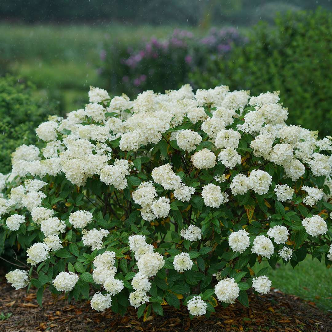 Little Lamb Hydrangea Spring Meadow Wholesale Liners Spring