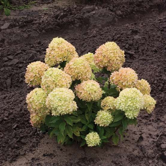 A young specimen of Little Lime panicle hydrangea showing its dwarf habit and lime green flower color