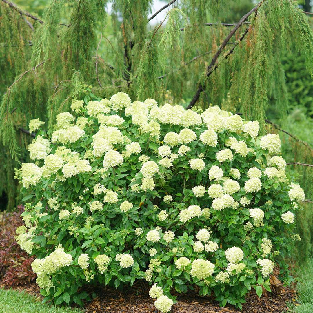 A mature specimen of Little Lime panicle hydrangea blooming in the landscape showing its dwarf habit and rounded form