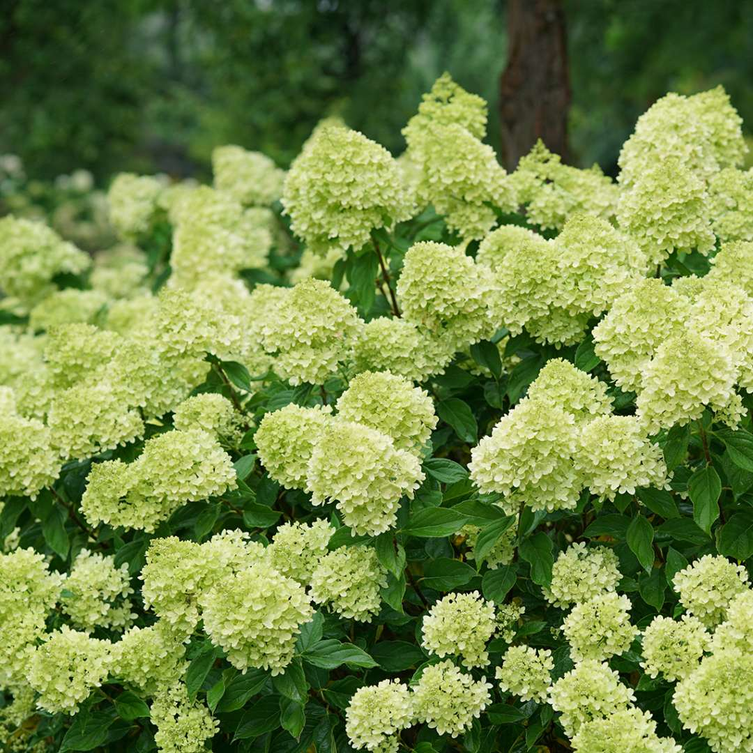 Closeup of the abundant green blooms of Little Lime panicle hydrangea