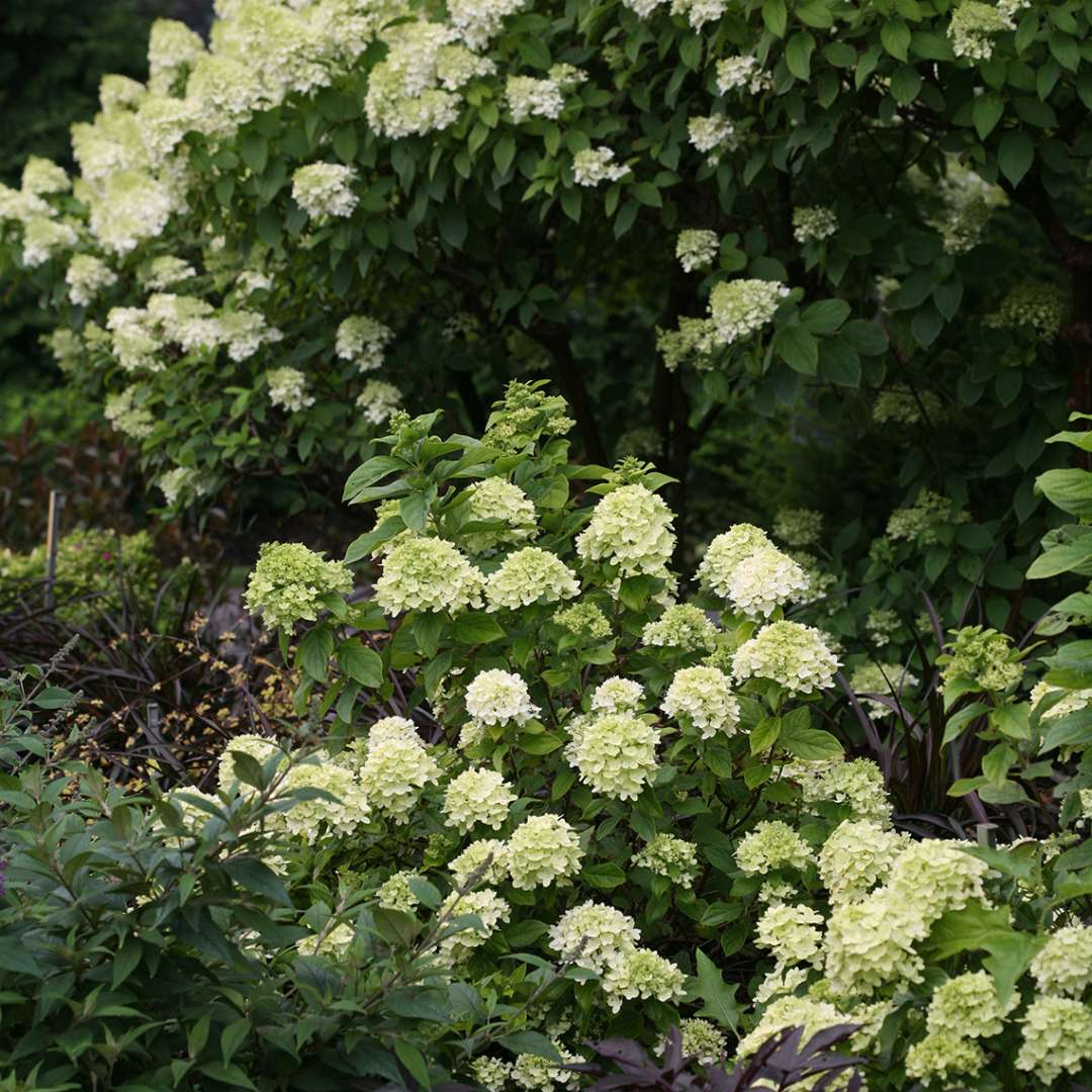 Little Lime hydrangea blooming in front of Limelgight hydrangea showing the scale of both
