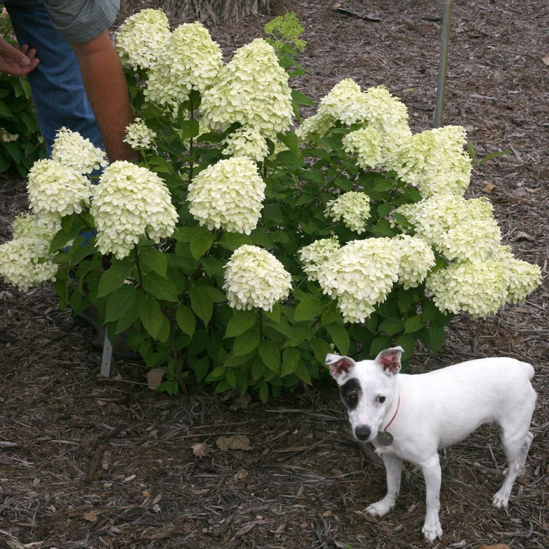 Little Lime hydrangea in bloom with a Jack Russell terrier dog next to it for scale