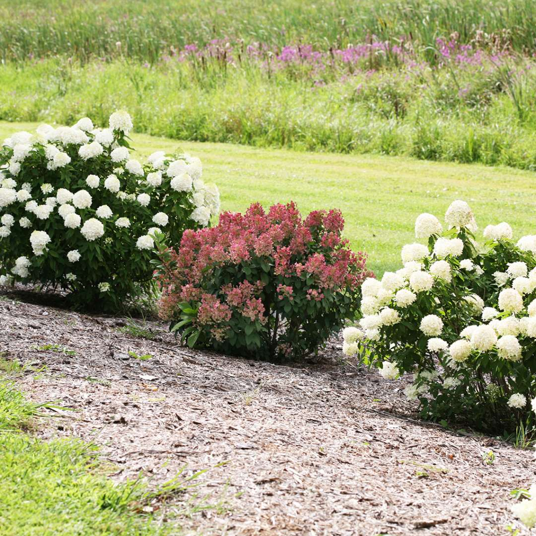 Little Quick Fire panicle hydrangea in the landscape showing its early red blooms and dwarf habit