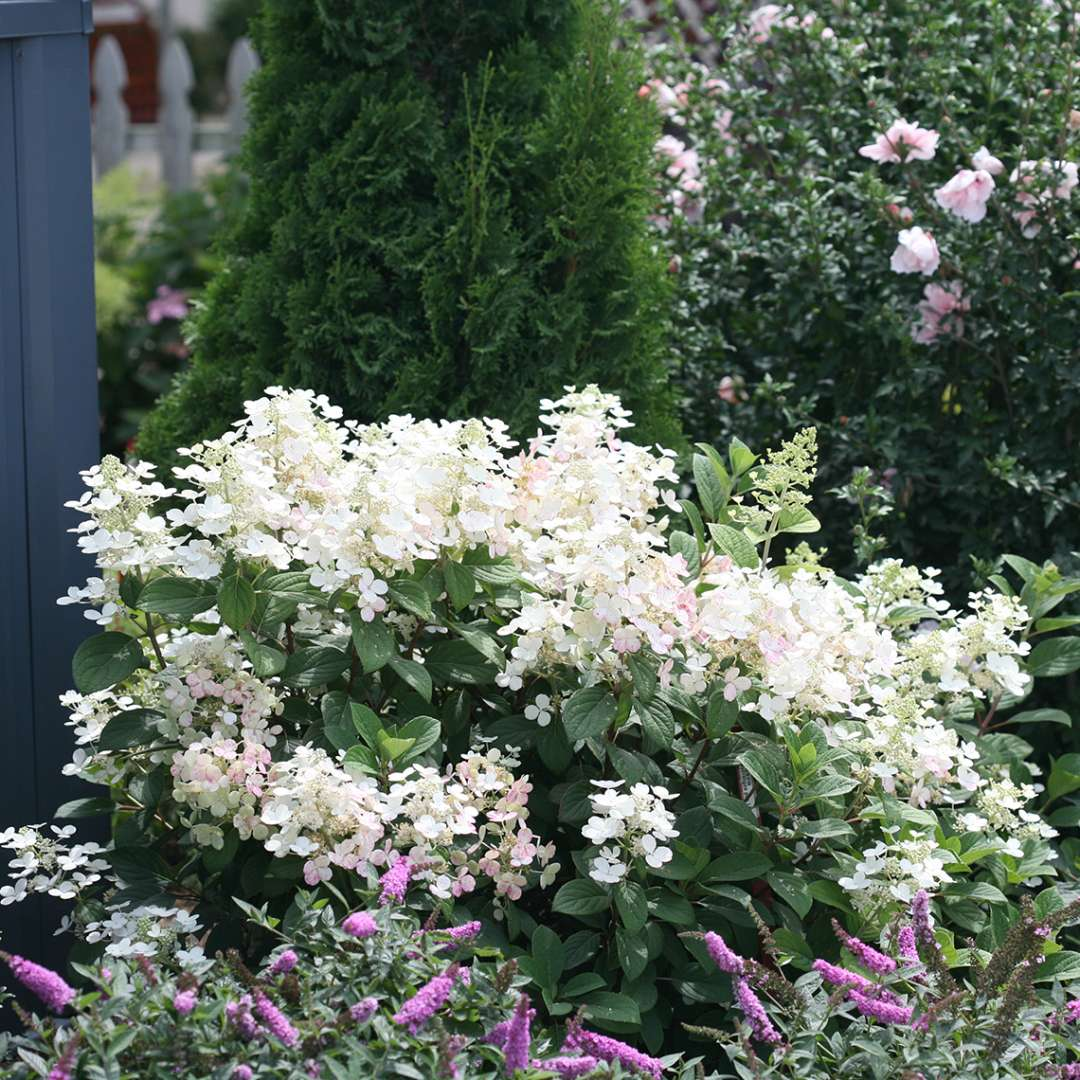 Little Quick Fire panicle hydrangea in the landscape showing white lacecap flowers