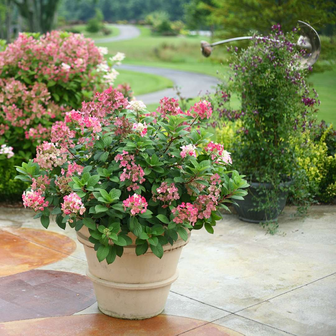 Little Quick Fire panicle hydrangea blooming in a large container on a patio
