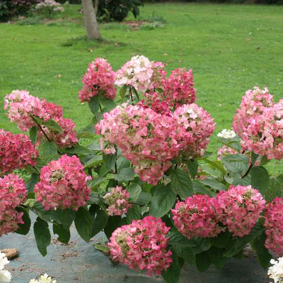 Specimens of Mega Mindy panicle hydrangea blooming in a trial field