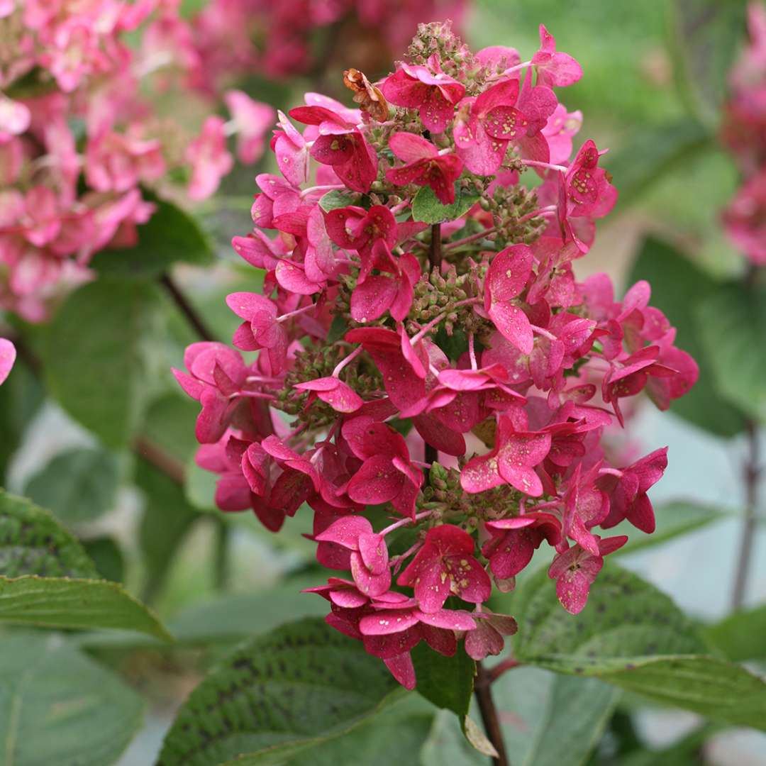 Blooms of Mega Mindy panicle hydrangea in their pink red phase