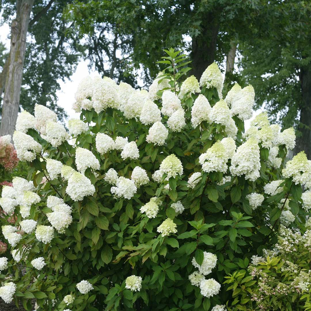 Pillow Talk panicle hydrangea in full bloom with white flowers before they take on the pink color