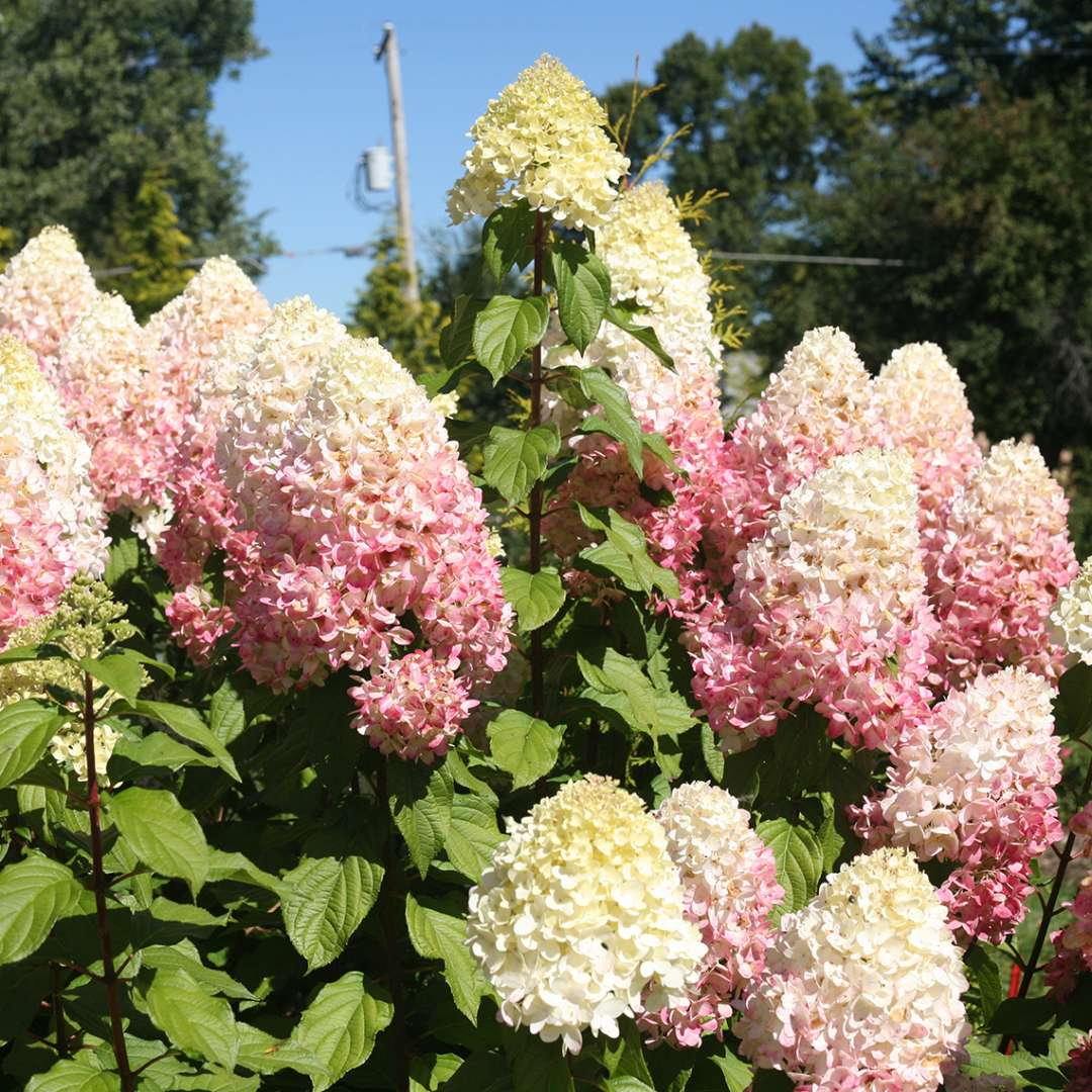 Closeup of several blooms of Pillow Talk hydrangea starting to blush with a nice pink color