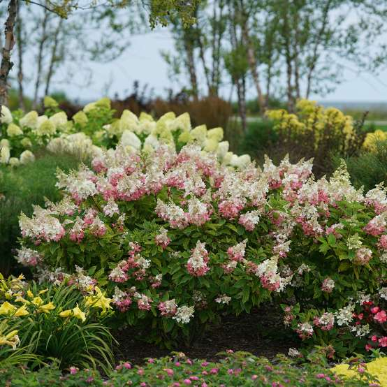 The very pointy pink and white lacecap blooms of the inimitable Pinky Winky hydrangea