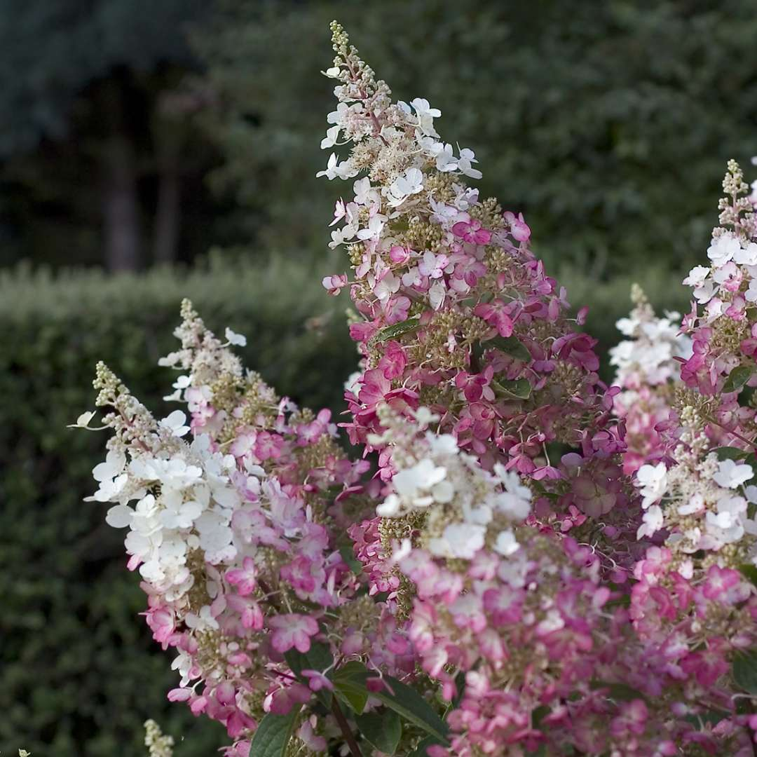 Closeup of the extra large lacecap blooms of Pinky Winky panicle hydrangea showing pink to white coloring