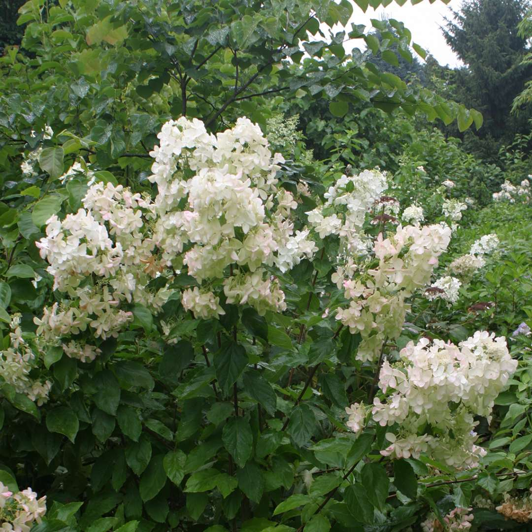 Polar Ball panicle hydrangea in bloom showing its very large inflorescences