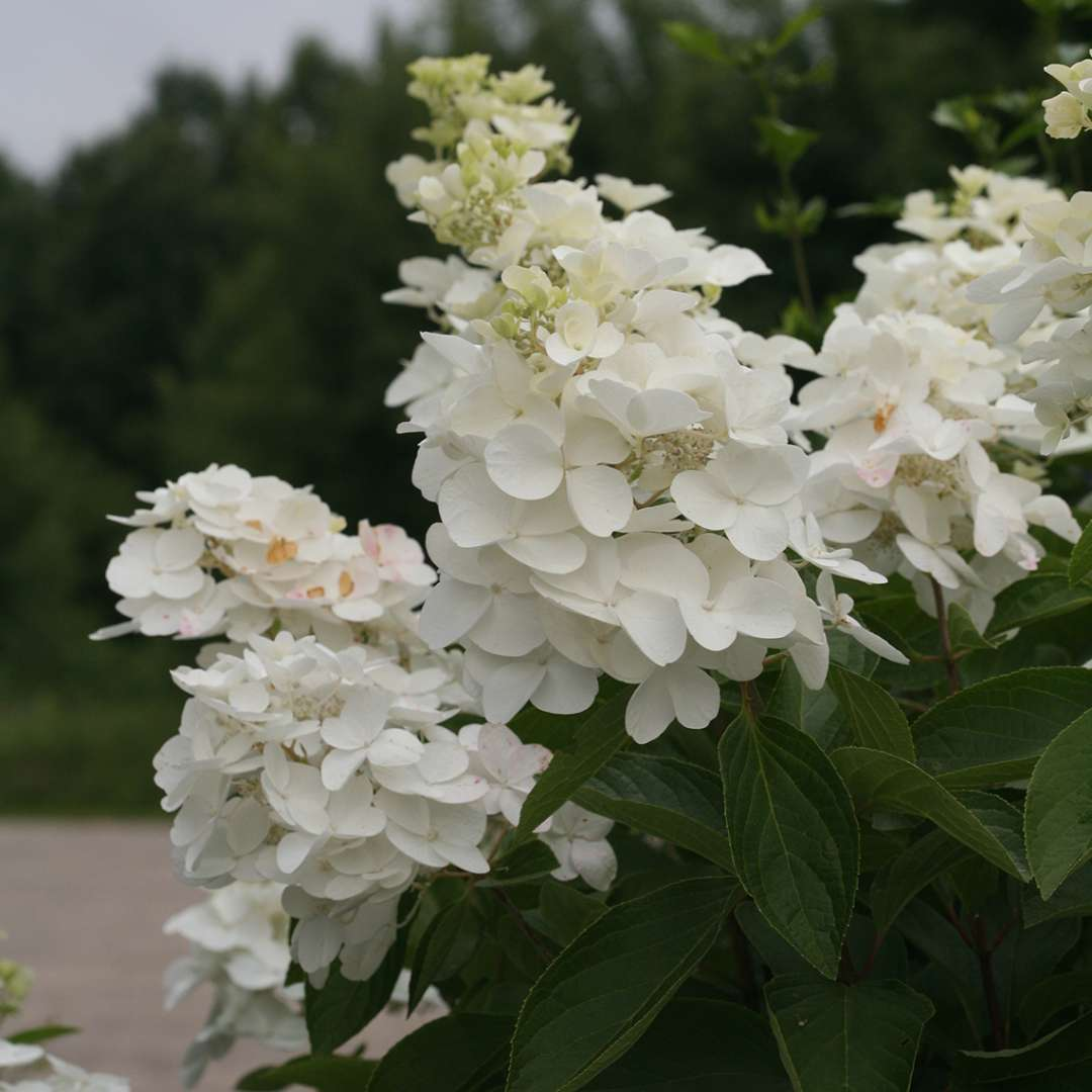 Closeup of the large flowers of Polar Ball panicle hydrangea