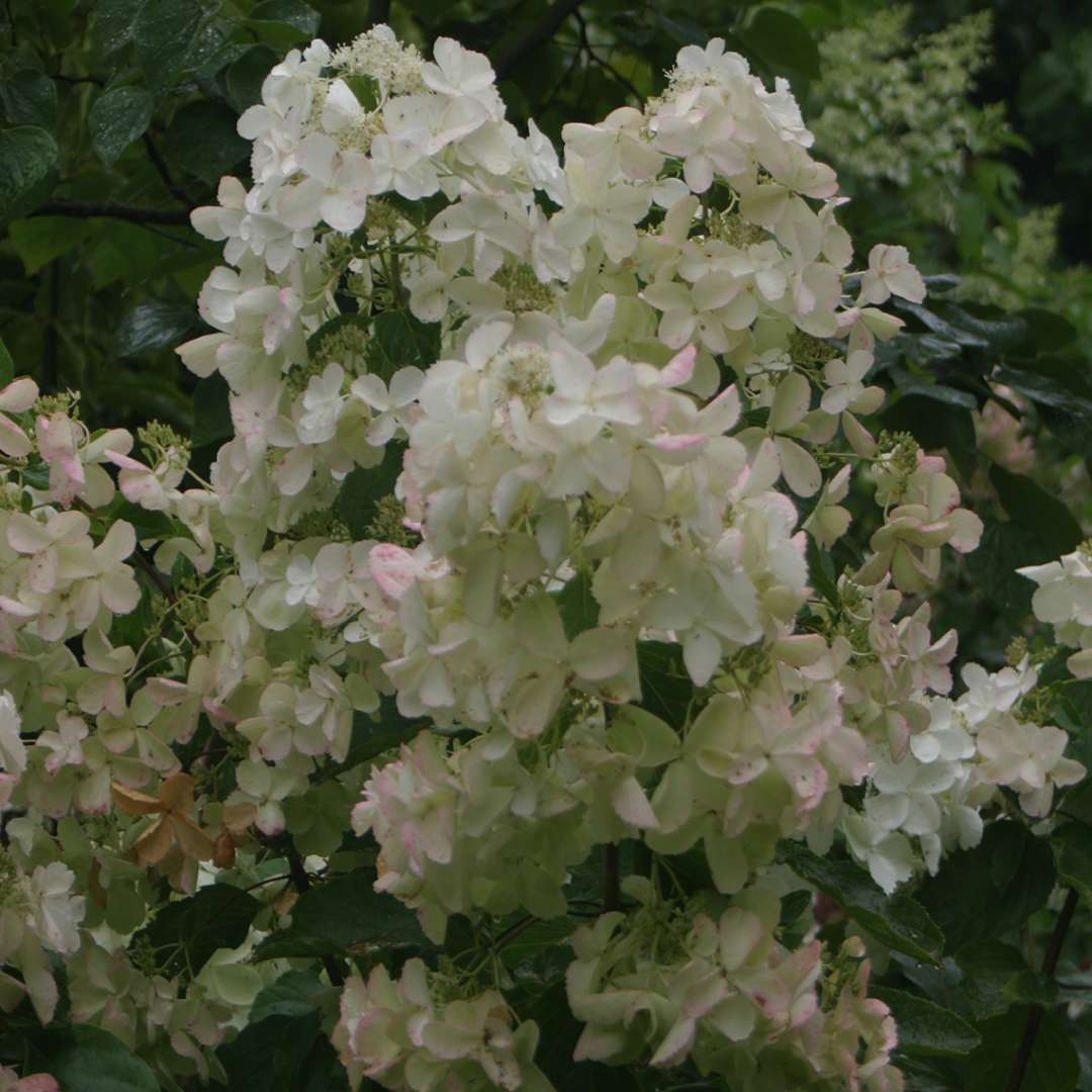 The large lacy white flowers of Polar Ball panicle hydrangea