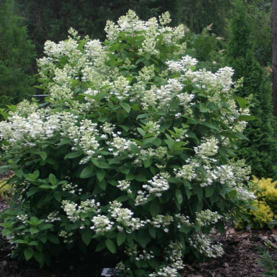 Quick Fire panicle hydrangea covered in white lacecap flowers in a landscape