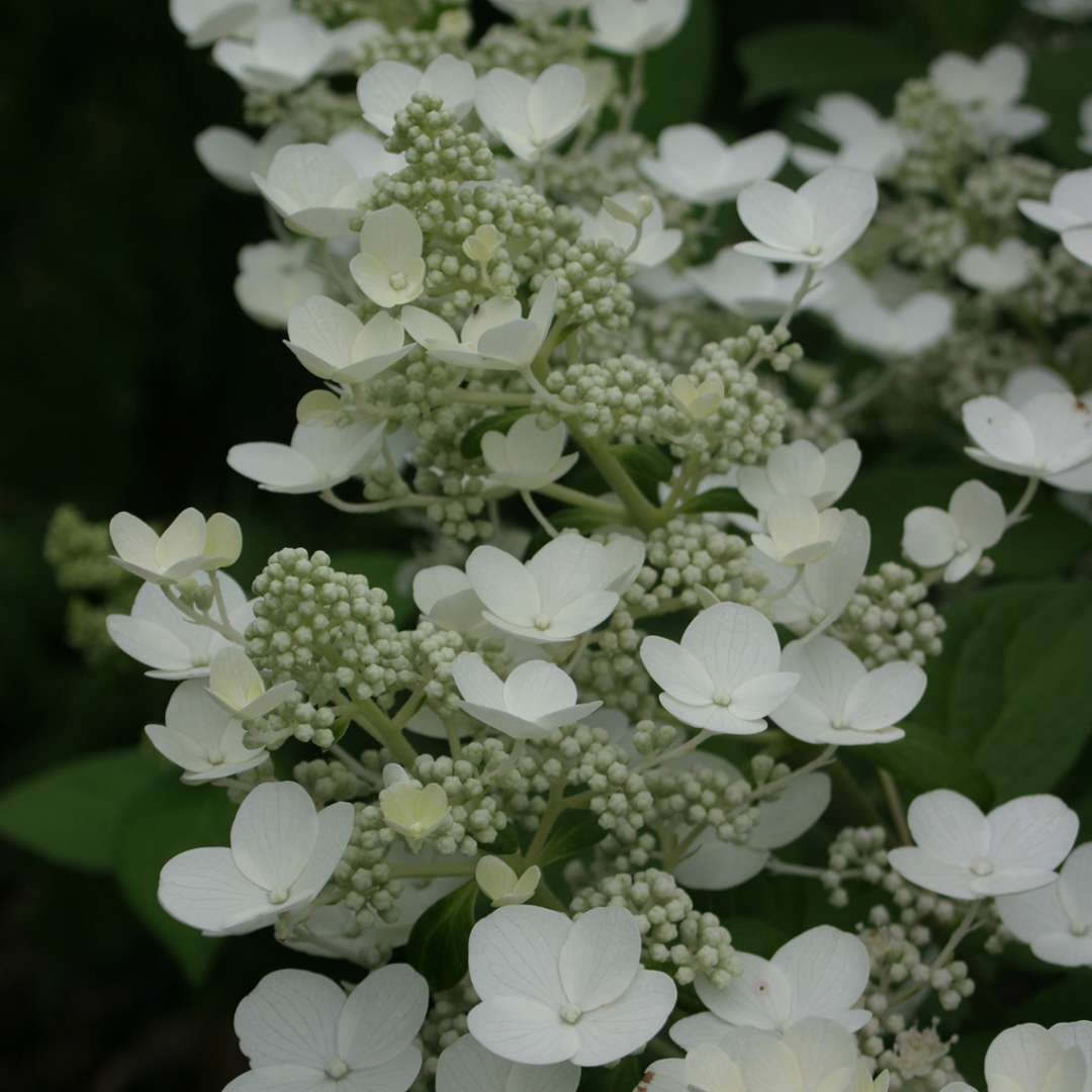 Closeup of the beautiful white lacecap flowers of Quick Fire hydrangea