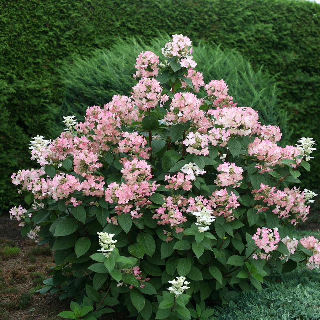 A specimen of Quick Fire panicle hydrangea that is just starting to take on its red coloration