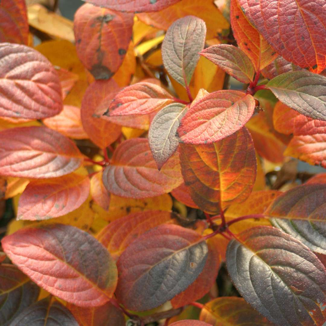 Closeup of the fall color of Quick Fire panicle hydrangea which is red purple and orange and is quite unusual for this species