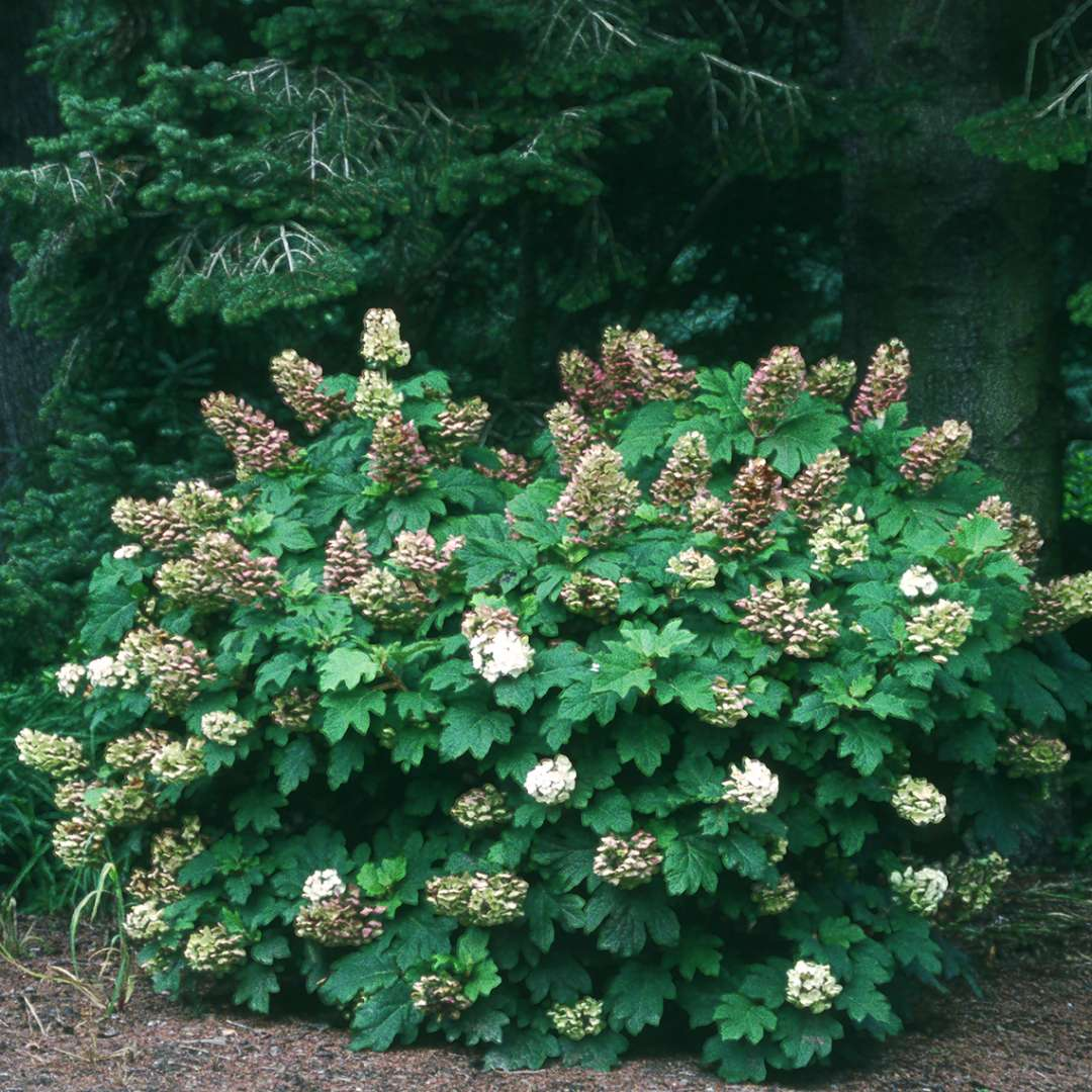 Snow Queen hydrangea in the landscape with its white blooms fading to brown