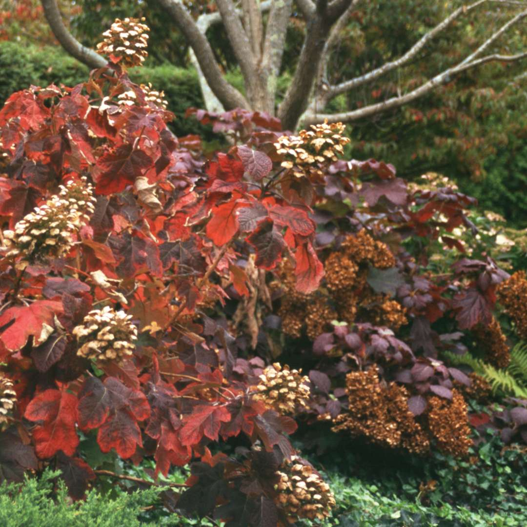 Snow Queen oakleaf hydrangea in the landscape displaying red and burgundy fall color