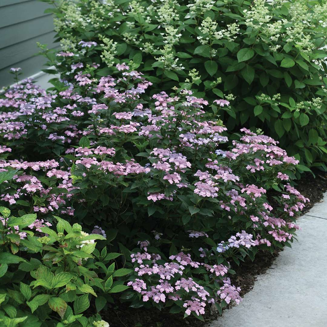 A small rounded specimen of Tiny Tuff Stuff mountain hydrangea covered in pink lavender lacecap blooms in a landscape bed near a sidewalk