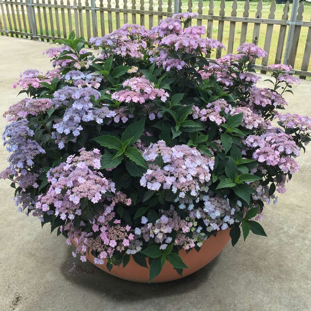 A fantastic looking specimen of Tiny Tuff Stuff mountain hydrangea blooming in a large decorative container