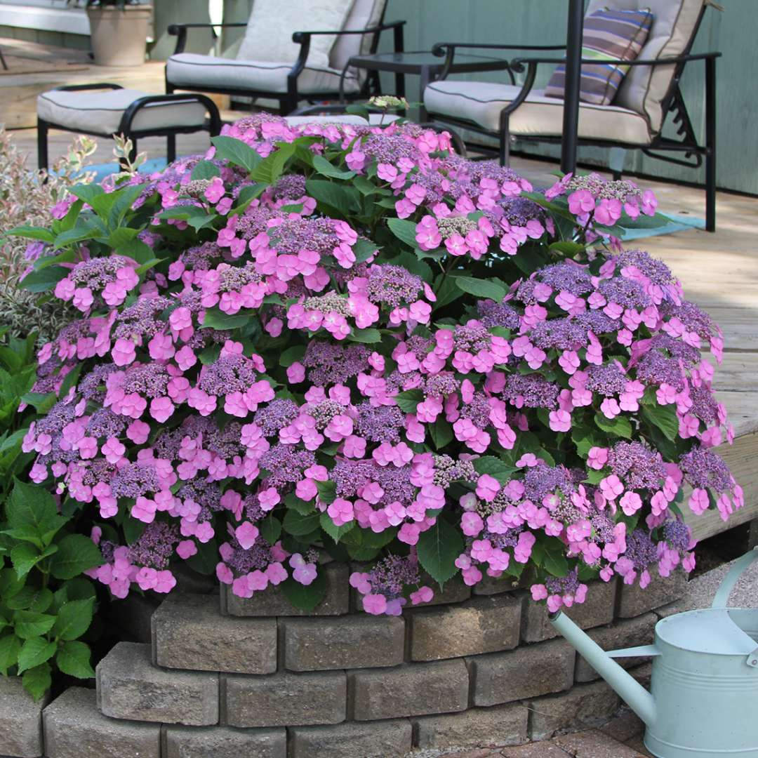 A specimen of Tuff Stuff mountain hydrangea covered in pink lacecap blooms in a brick bed near a patio