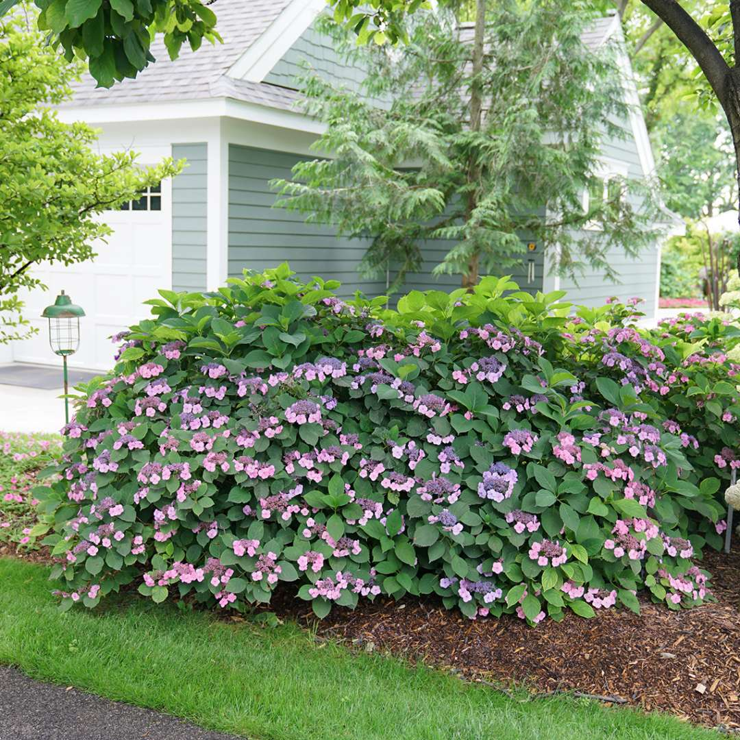 A rounded mature specimen of Tuff Stuff mountain hydrangea covered in pink and blue blooms in the landscape