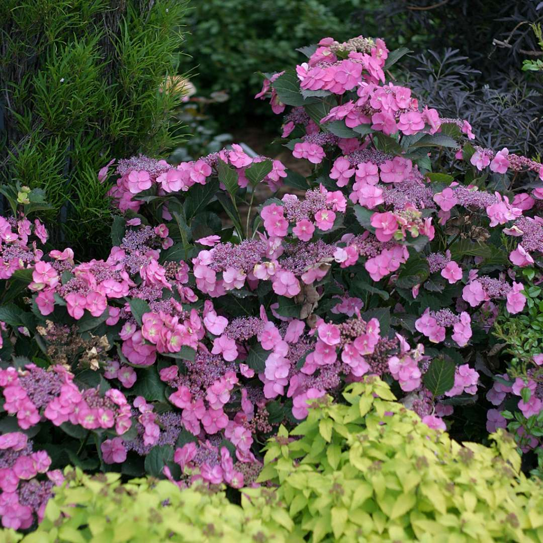 Many pink flowers on Tuff Stuff mountain hydrangea in front of a yellow spirea