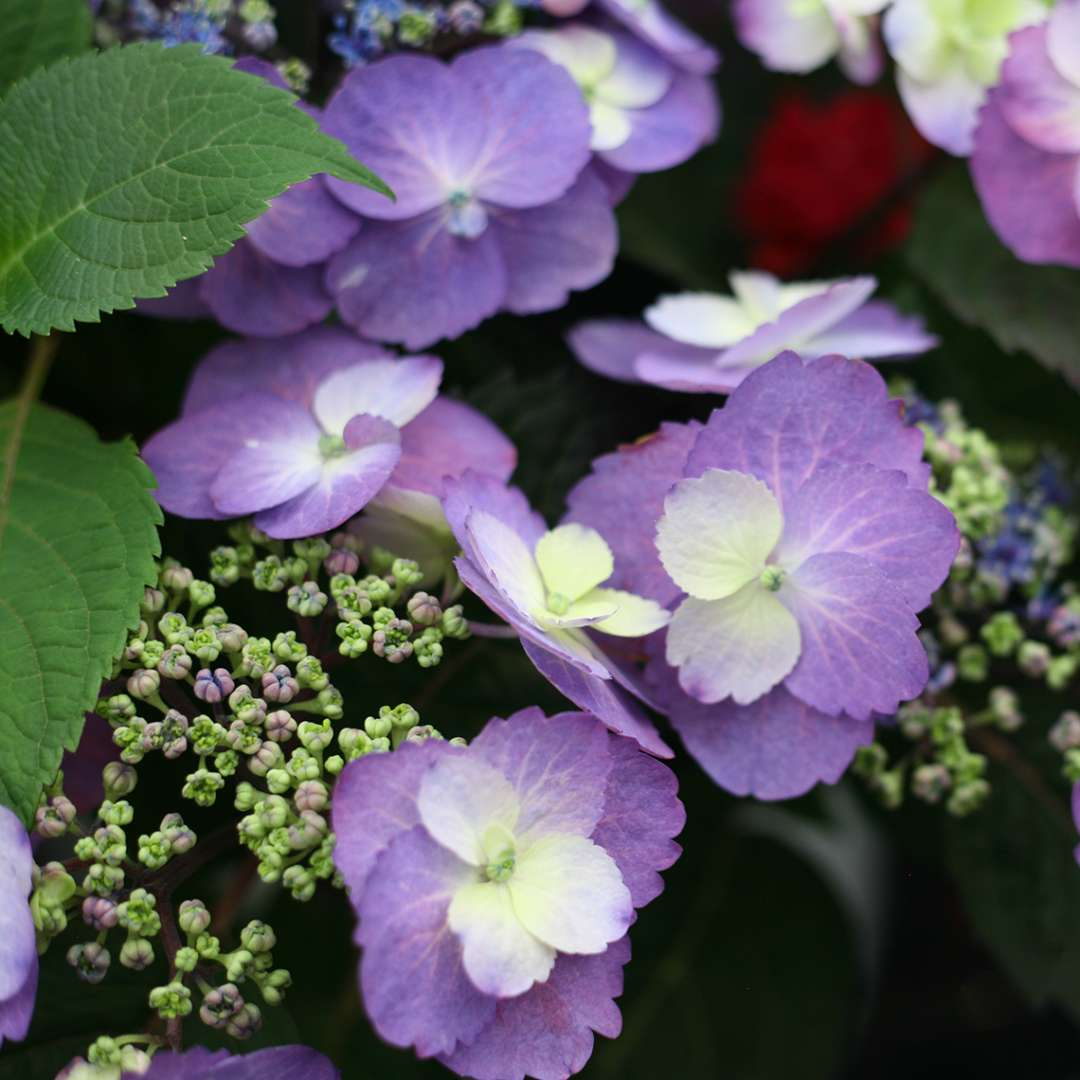 Closeup of the flowers of Tuff Stuff mountain hydrangea showing the purple blue color variant
