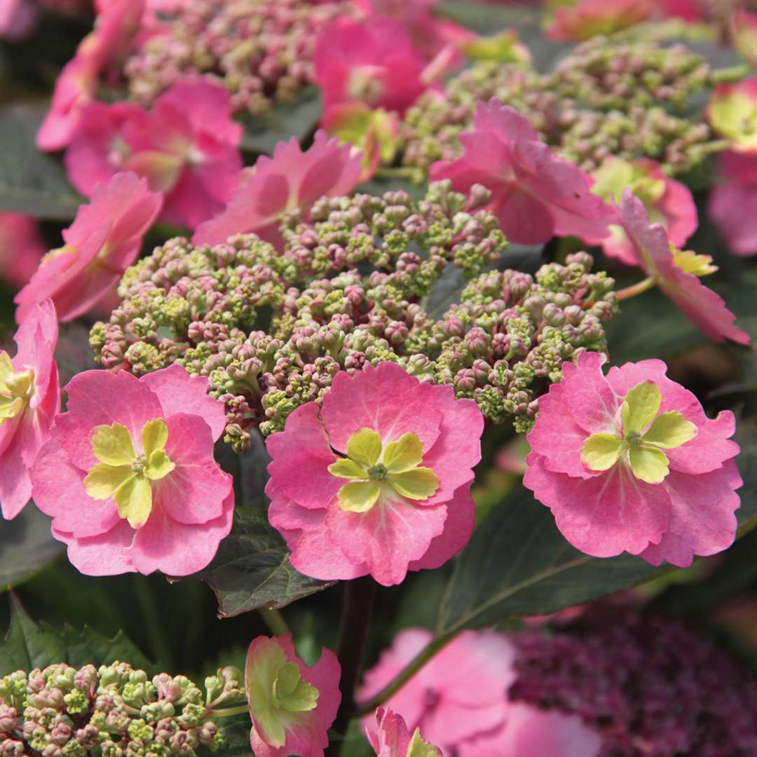 Closeup of the flowers of Tuff Stuff mountain hydrangea showing the pink color variant