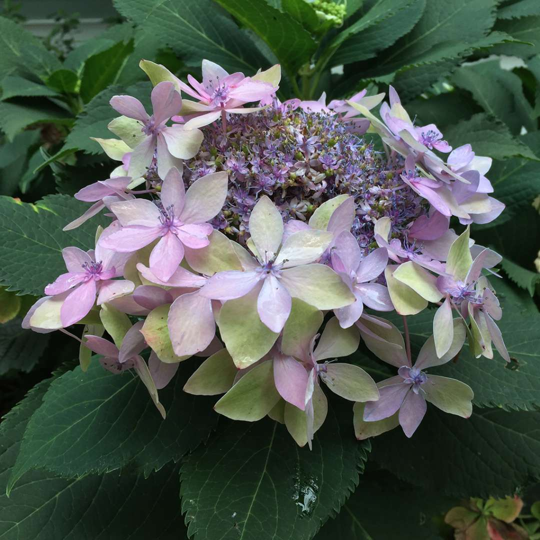 The lacecap flower of Tuff Stuff Ah Ha mountain hydrangea in its pink color variant