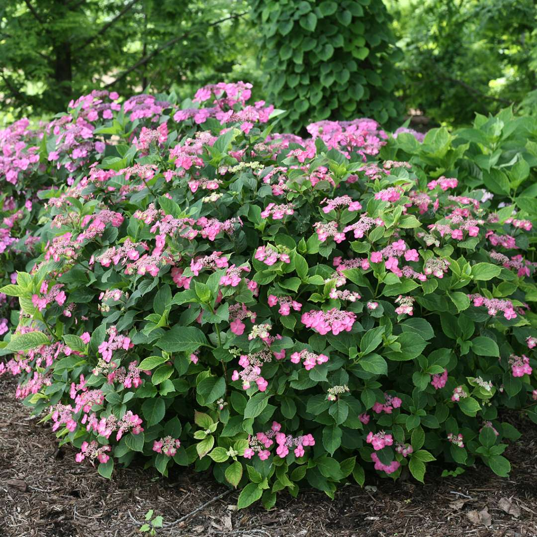 A handsome rounded specimen of Tuff Stuff Red mountain hydrangea blooming in a landscape surrounded by greenery