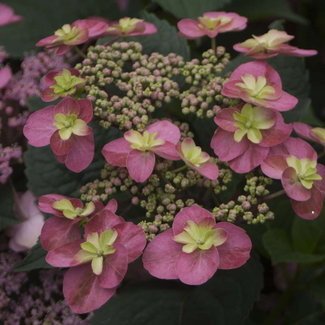 Closeup of the lacecap bloom of Tuff Stuff Red mountain hydrangea showing the yellow eyes in the center of each floret